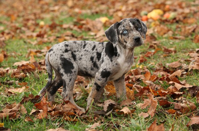Catahoula Leopard Puppy Behavior and Growth Stage.
