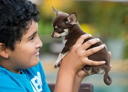 A boy holding Chihuahua puppy