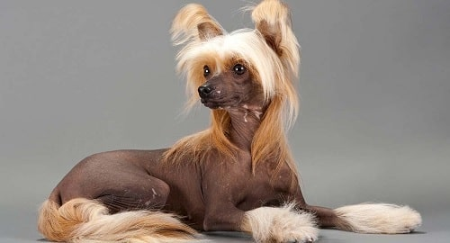 A fully grown Chinese Crested