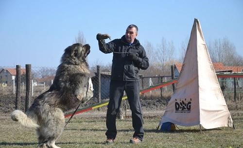 Training Caucasian Shepherd Dog