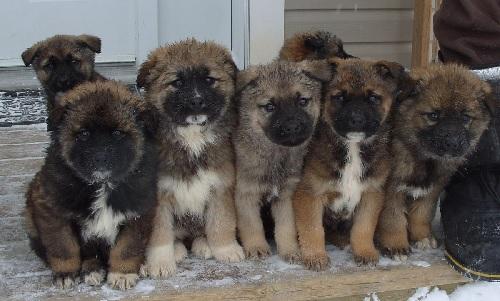 Caucasian Shepherd Puppies sitting