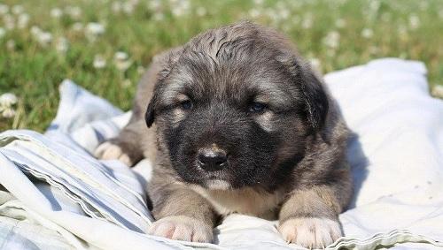 Caucasian Shepherd puppy sitting