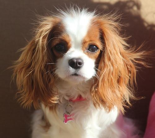 Cavalier King Charles Spaniel cute puppy