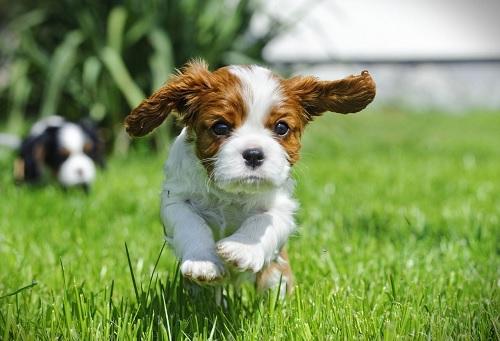 Cavalier King Charles Spaniel puppy running
