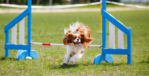 Cavalier King Spaniel doing agility training