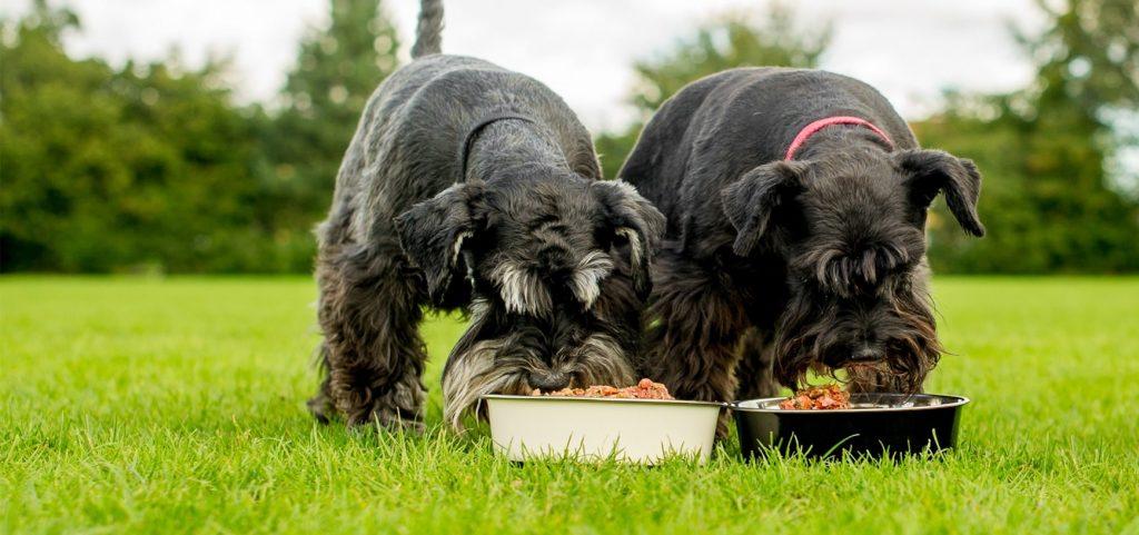 Cesky Terrier Feeding Methods
