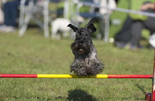 Cesky Terrier Training Method and Strategies
