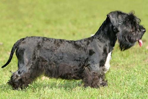 Cesky Terrier on the ground