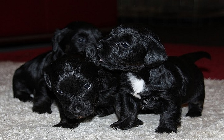 Cesky Terrier puppies developmental stages and their behavior