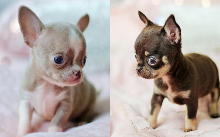 Chihuahua Puppies development stage and their behavior