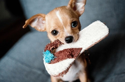 Chihuahua Puppy holding slipper in its mouth