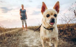 Chihuahua Temperament and Personality