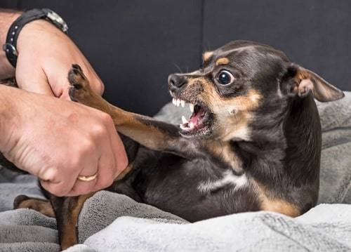 Chihuahua getting angry