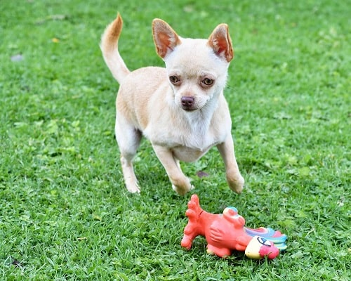Chihuahua playing with its toy