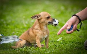 Chihuahua training methods and strategies