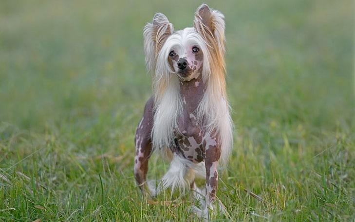 Chinese Crested Training methods and strategies