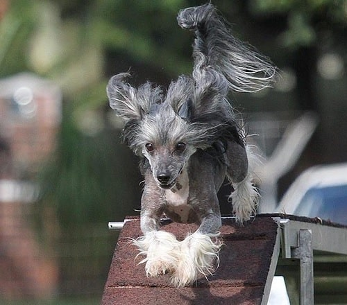 Chinese Crested agility training