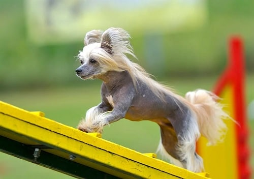 Chinese Crested doing agility training