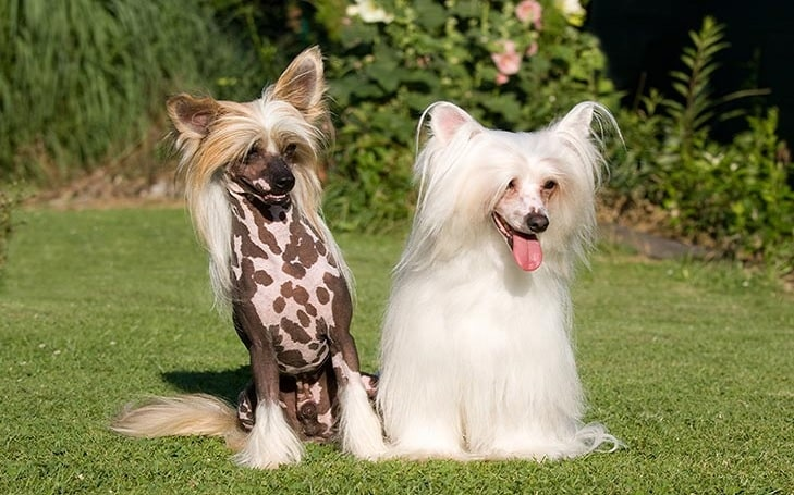 Chinese Crested feeding methods and diets
