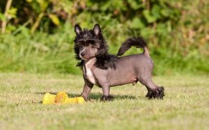 Chinese Crested puppy development and behavior