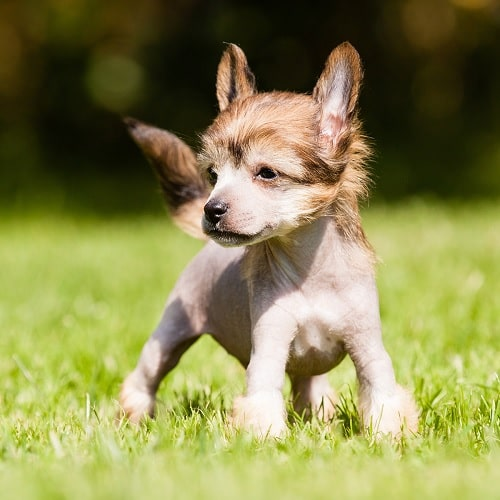 Chinese Crested puppy on the field