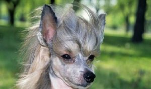 Chinese Crested temperament and personality