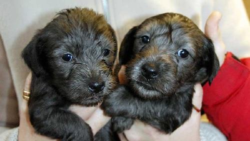 Few weeks old Cesky Terrier puppies