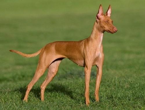 An adult Cirneco dell'Etna dog