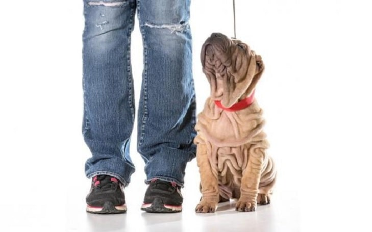 Chinese Shar-Pei Training methods