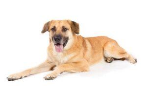 Chinook Dog Training Methods and Strategies