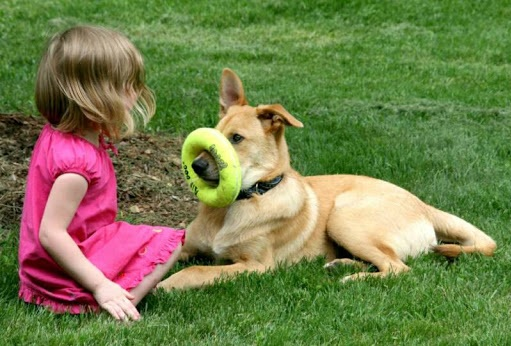 Chinook Dog playing with a baby girl