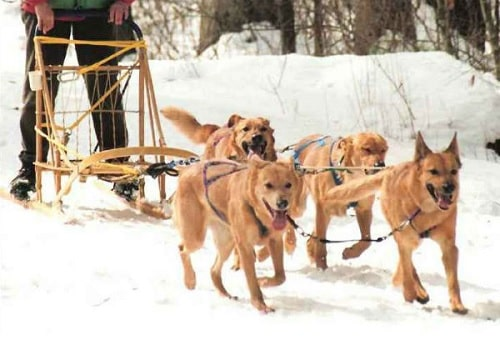 Chinook Dogs pulling sled