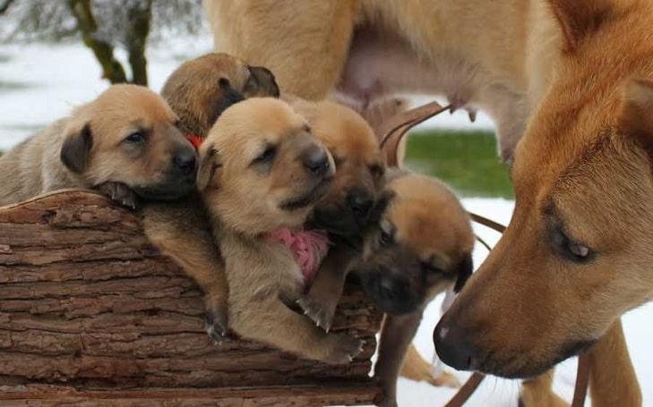 Chinook Puppies Development Stages