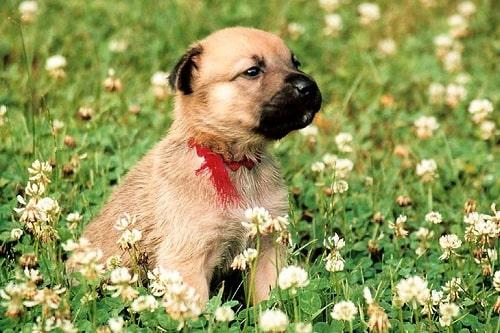 Chinook Puppy sitting in a garden