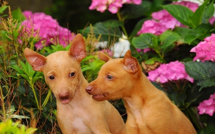 Cirneco dell'Etna puppies development stages and their behavior