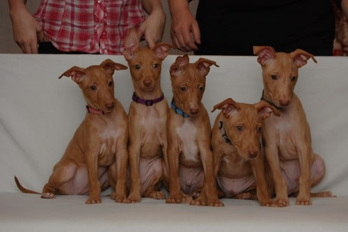 Cirneco dell'Etna puppies sitting