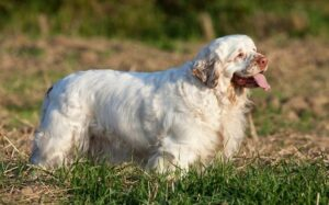Clumber Spaniel Diets and Feeding methods