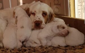 Clumber Spaniel Puppies development stages