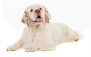 Clumber Spaniel Temperament and Personality