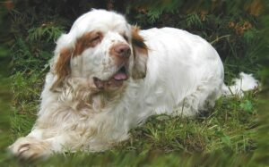 Clumber Spaniel Training