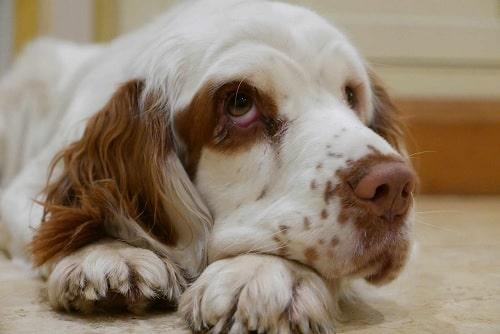 Clumber Spaniel waiting for food