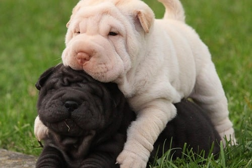 Shar-Pei Puppies playing