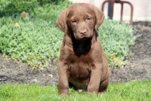 Chesapeake Bay Retriever pup sitting