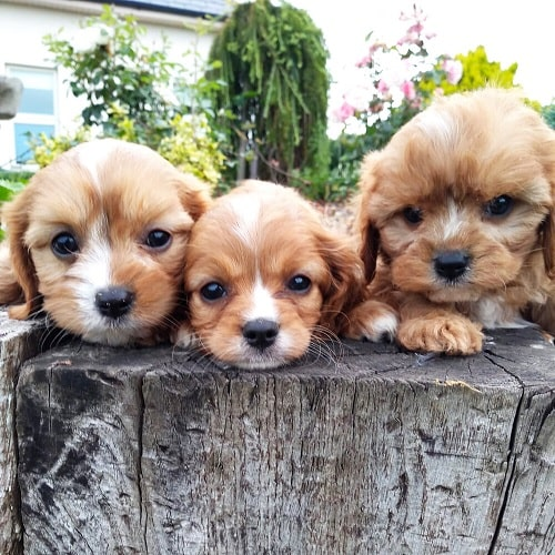 Cavachon Puppies posing for a photo