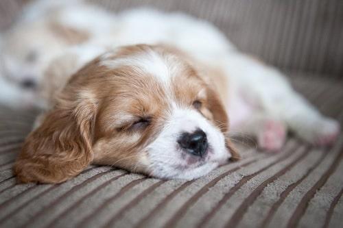 Cavachon sleeping
