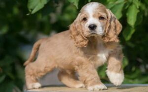 Cocker Spaniel Puppies development stage