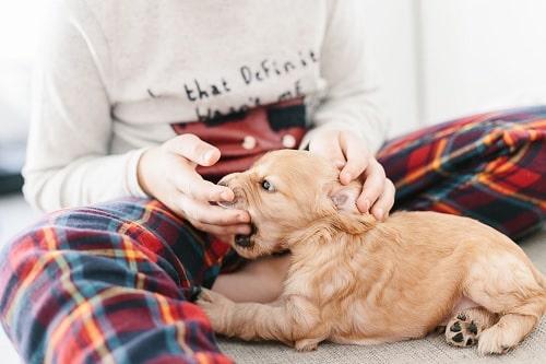 Cocker Spaniel puppy playfully biting its master