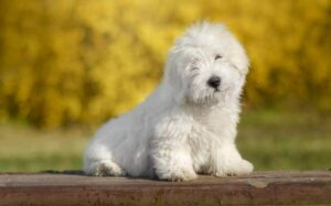 Coton de Tulear Training process and strategies