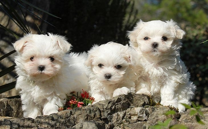Coton de Tulear puppies developmental stage and behavior