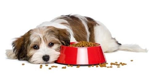 Coton deTulear lying beside its food